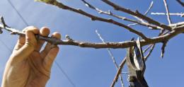 Baumschnitt – Obstbaumschnitt